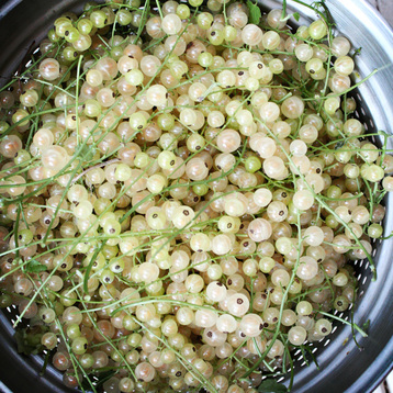 white currant harvest {wholly rooted}