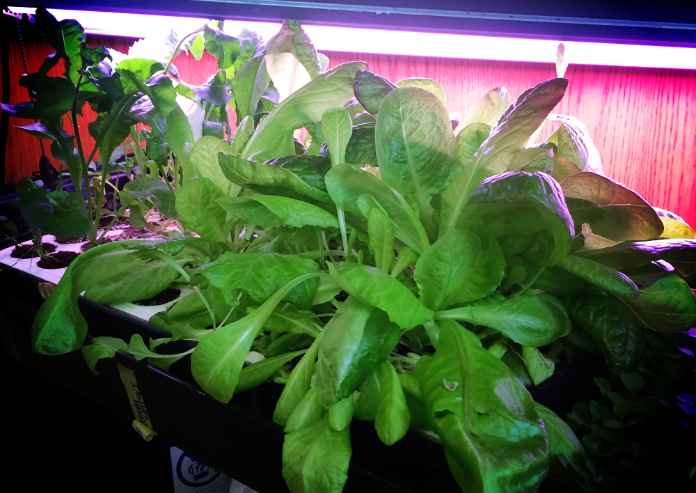 hydroponics lettuce {wholly rooted}